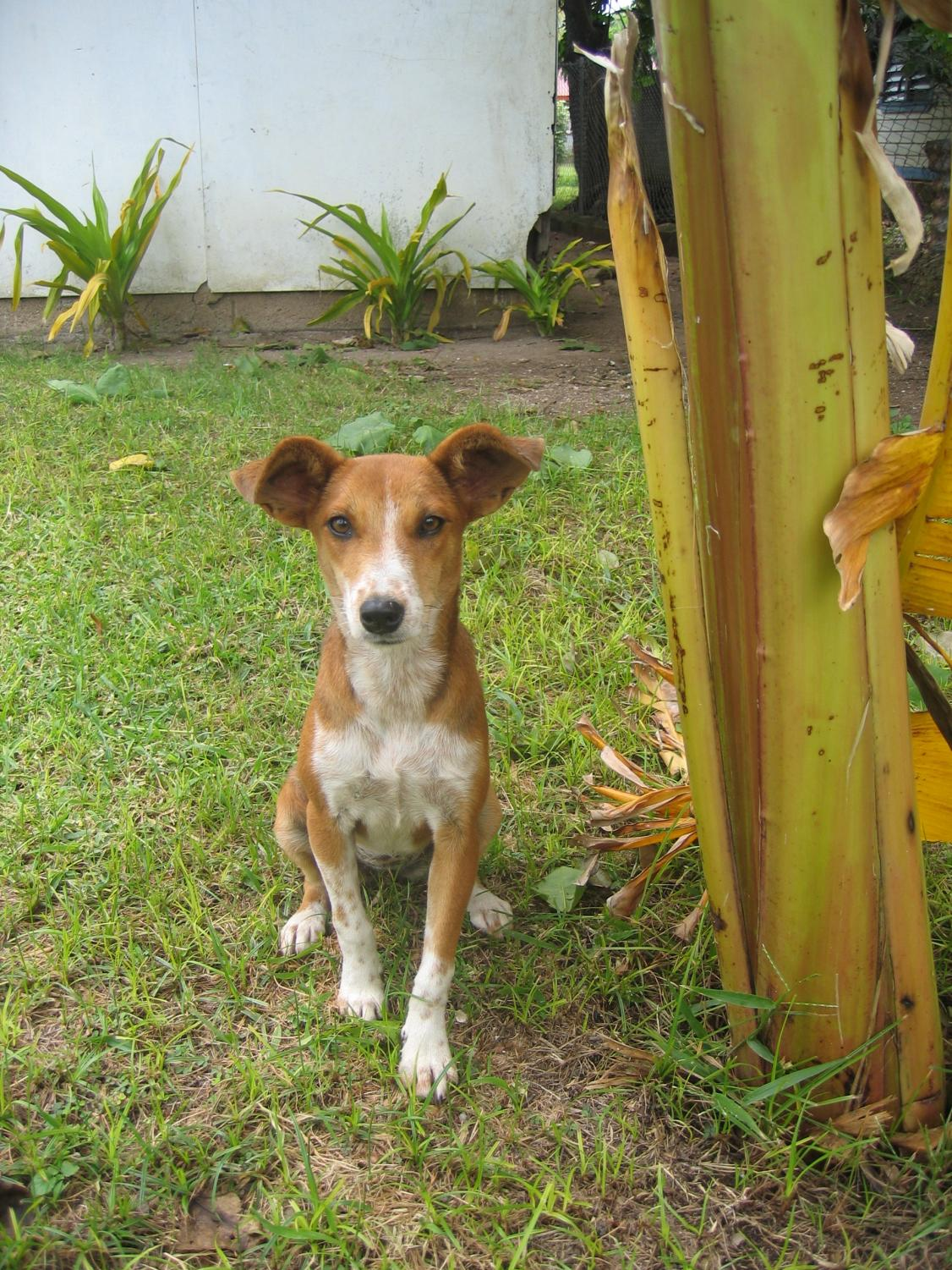 This is Mickey, a Tonga dog that made friends with ESL teacher Soraya Bilbao while she served in the Peace Corps. Bilbao notes,